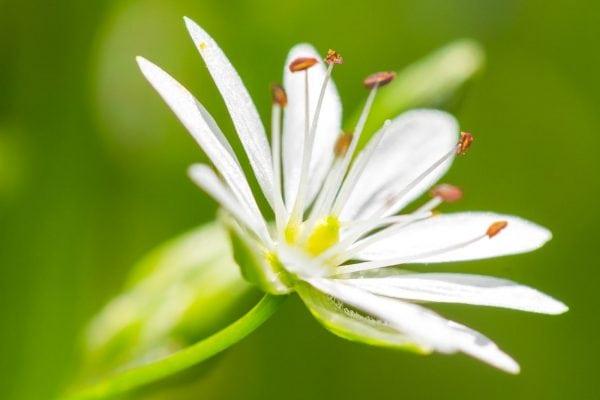 Lotosová
